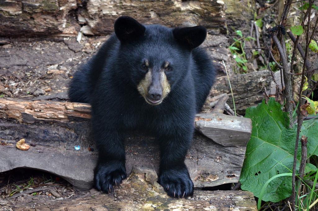 American Black Bear Cub by U.S. Fish and Wildlife Service - Midwest Region, on Flickr