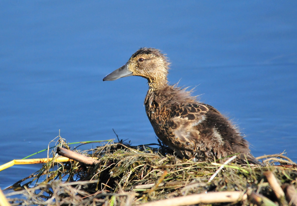 Cinnamon Teal Duckling Seedskadee Nation by USFWS Mountain Prairie, on Flickr