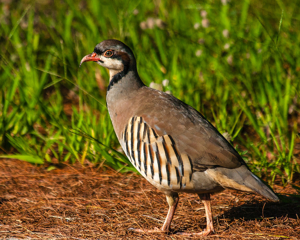 Chukar Partridge by Me in ME, on Flickr