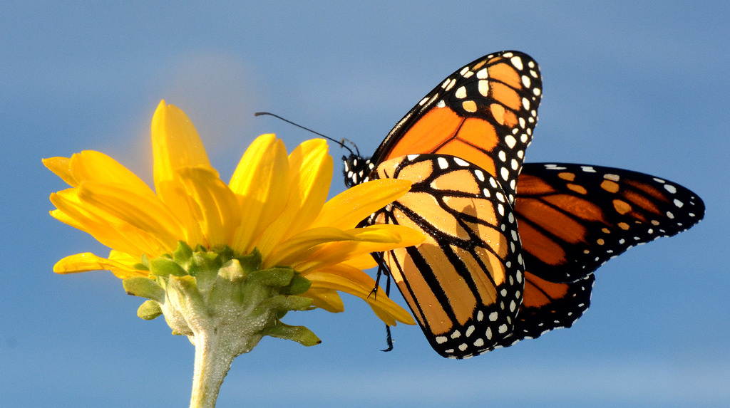 Monarch Butterfly on False Sunflower in by U.S. Fish and Wildlife Service - Midwest Region, on Flickr