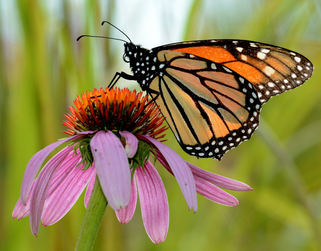 Monarch Butterfly on Purple Coneflower i by U.S. Fish and Wildlife Service - Midwest Region, on Flickr
