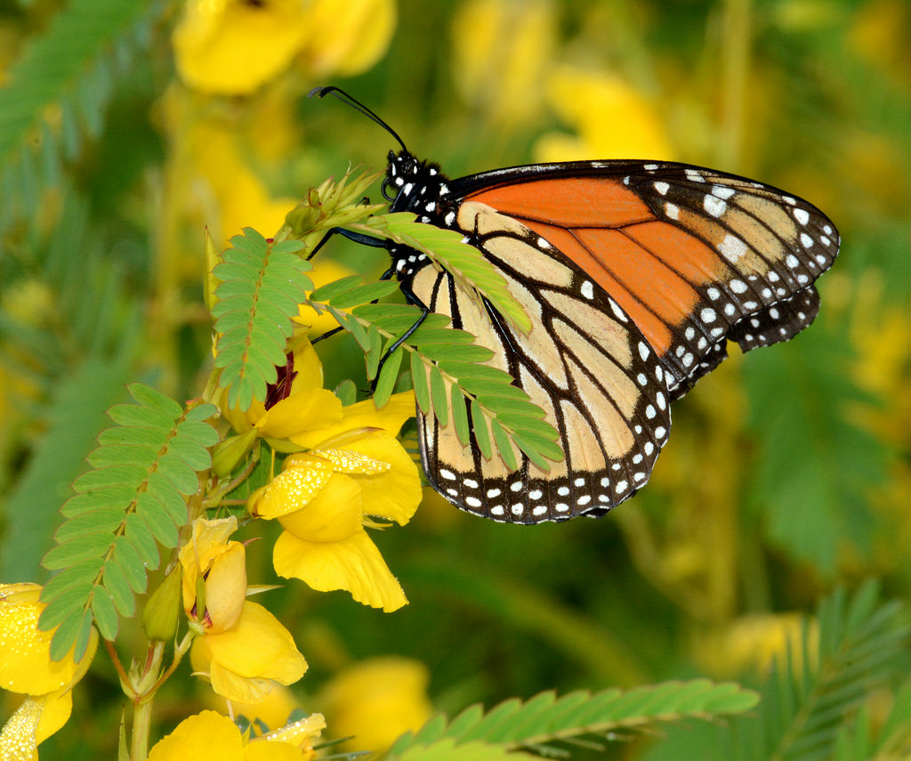 Monarch Butterfly on Partridge Pea in Mi by U.S. Fish and Wildlife Service - Midwest Region, on Flickr