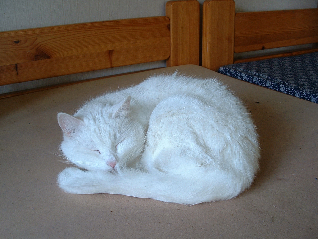 A sleeping white cat by wheany, on Flickr