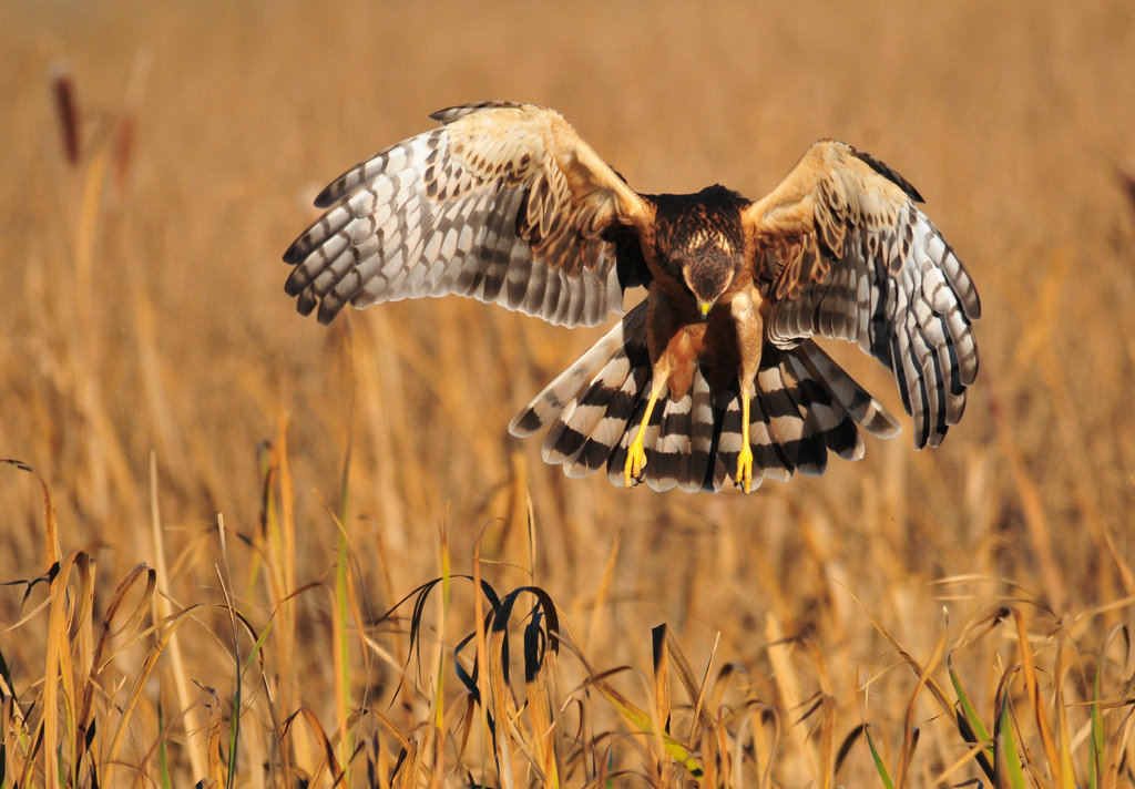 Northern Harrier on Seedskadee National by USFWS Mountain Prairie, on Flickr