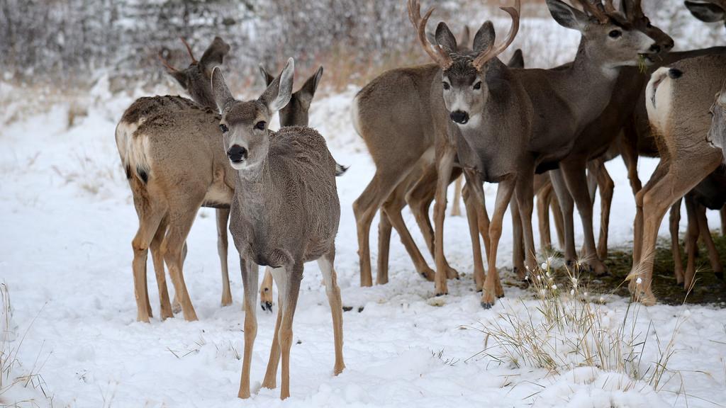 Deer, Yukon Wildlife Preserve by aaranged, on Flickr