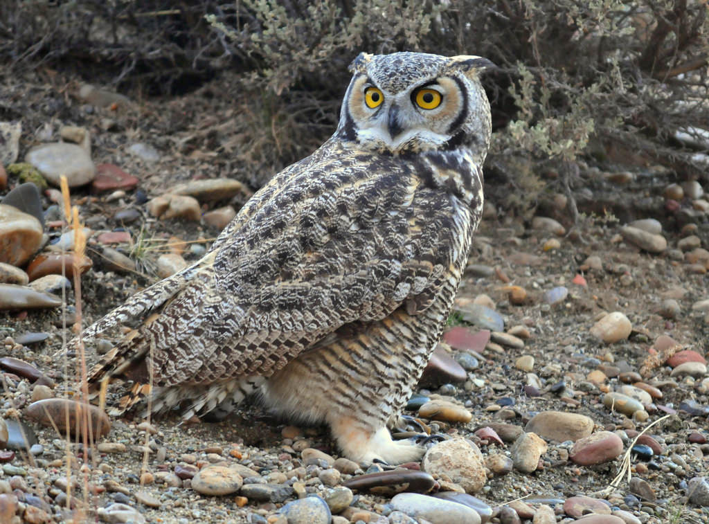 Great Horned Owl on Seedskadee National by USFWS Mountain Prairie, on Flickr