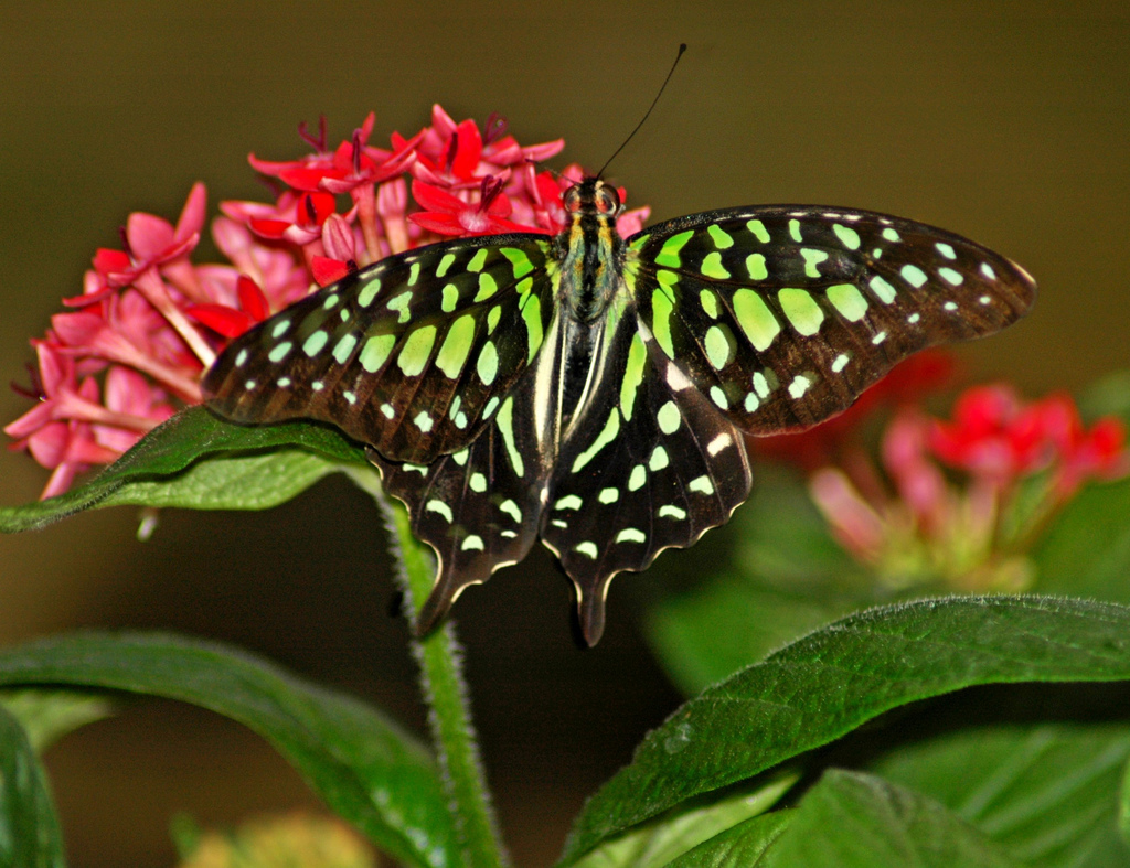 Green and Black Butterfly by Zyada, on Flickr