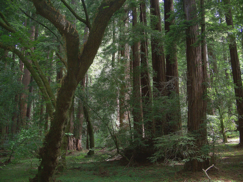 USA (San Francisco, CA) Muir Woods-Giant by ustung, on Flickr