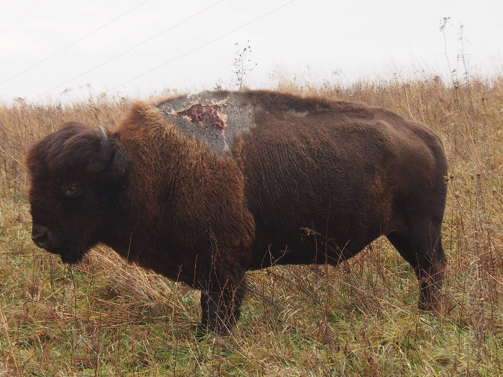 One Tough Bison by U.S. Fish and Wildlife Service - Midwest Region, on Flickr