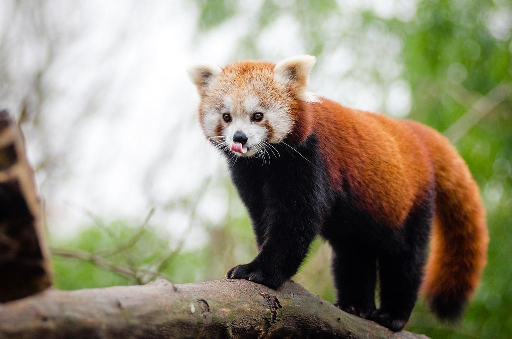 Red Panda by Mathias Appel, on Flickr