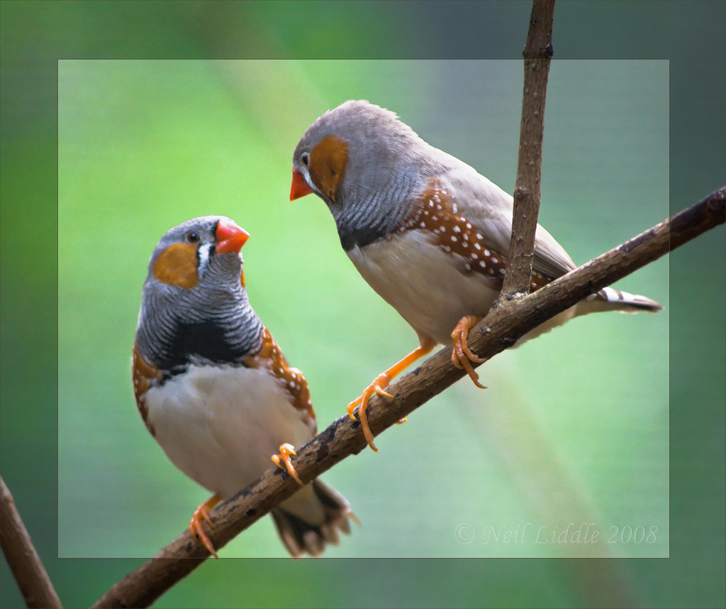 Zebra Finches by NeilsPhotography, on Flickr
