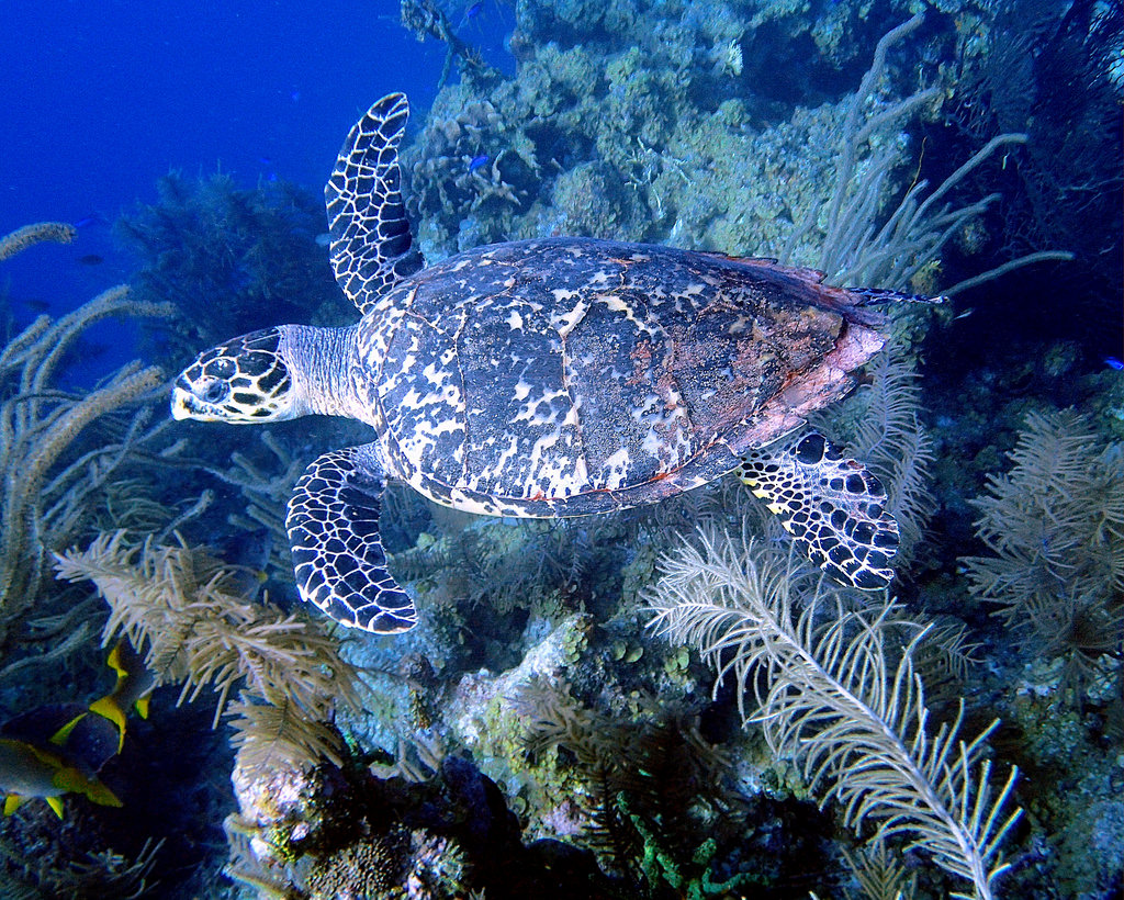 Hawksbill Sea Turtle 3 - Blackbird Caye by mastrfshrmn, on Flickr