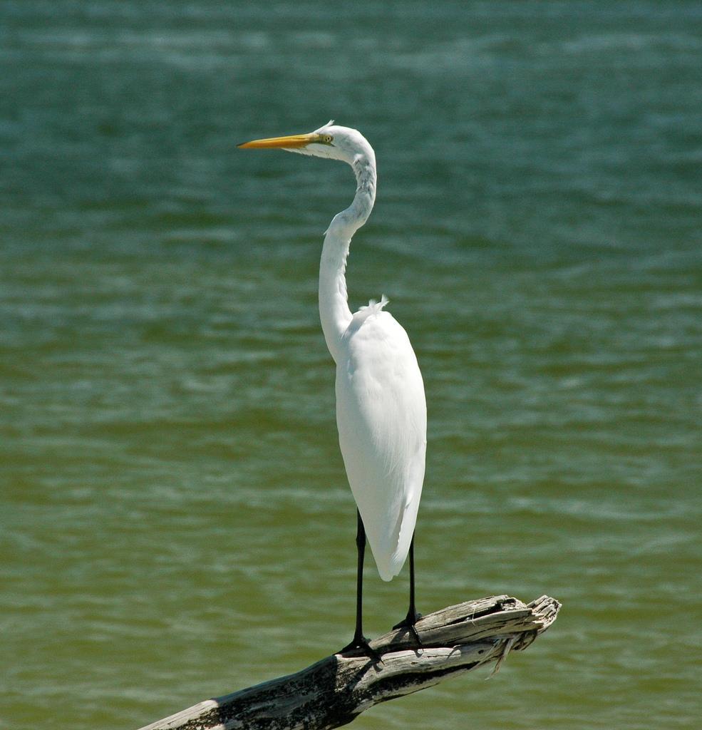 Ardea alba egretta (great egret) (Cayo C by James St. John, on Flickr