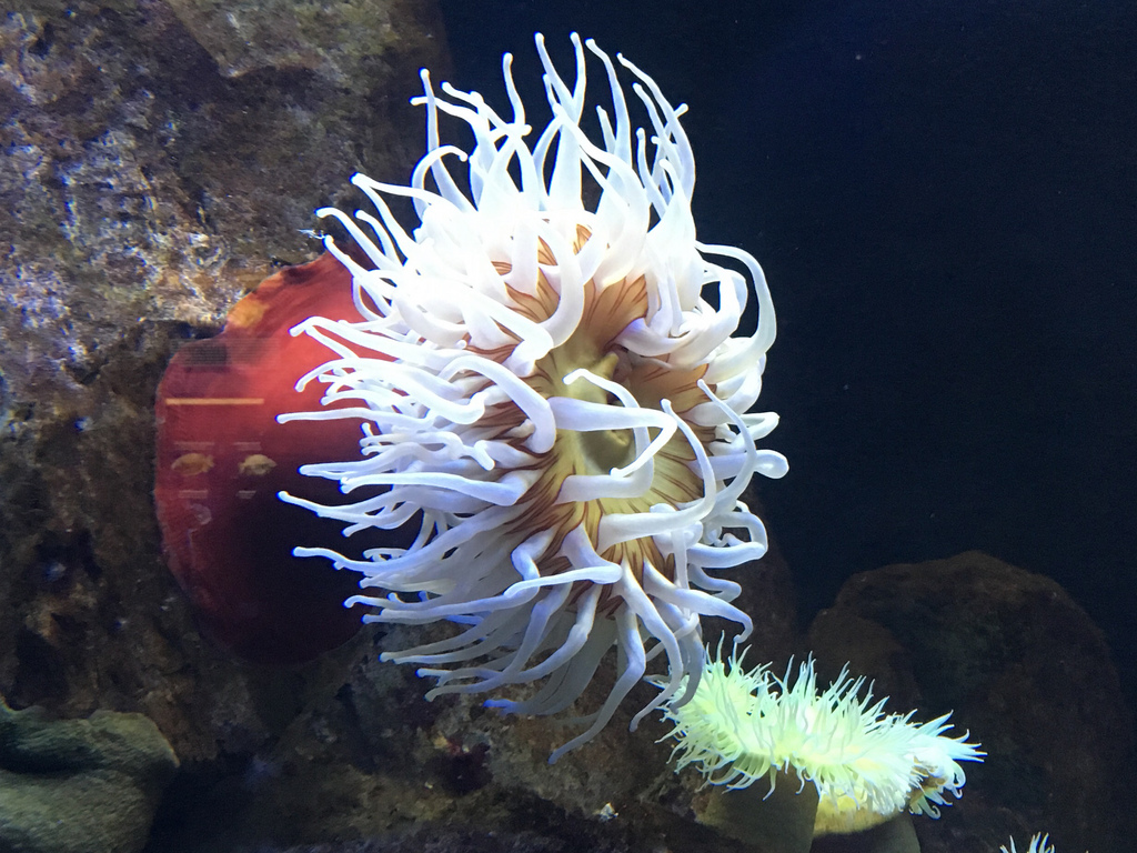 sea anemone by cocoate.com, on Flickr