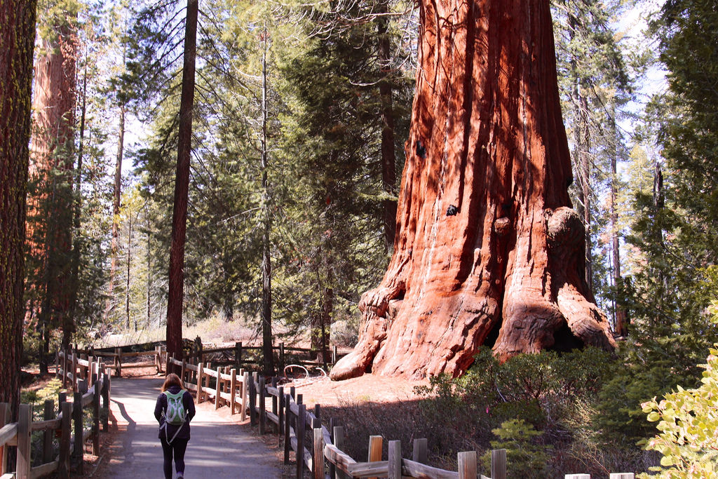 Sequoia: Lincoln Tree by daveynin, on Flickr