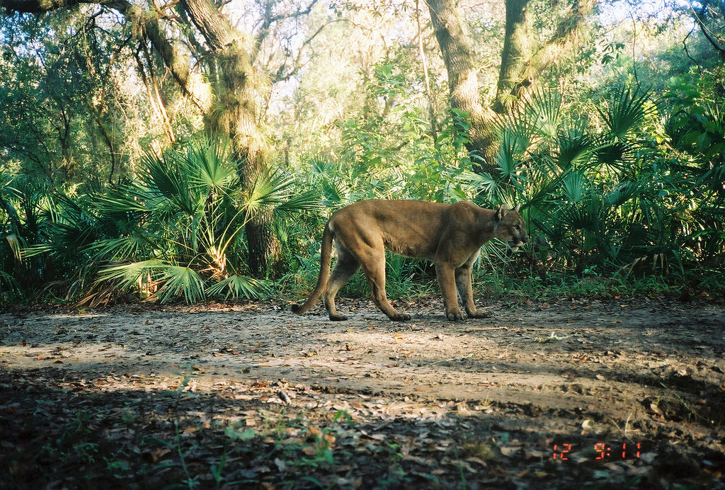 Adult Male Florida Panther in Florida Pa by USFWS/Southeast, on Flickr