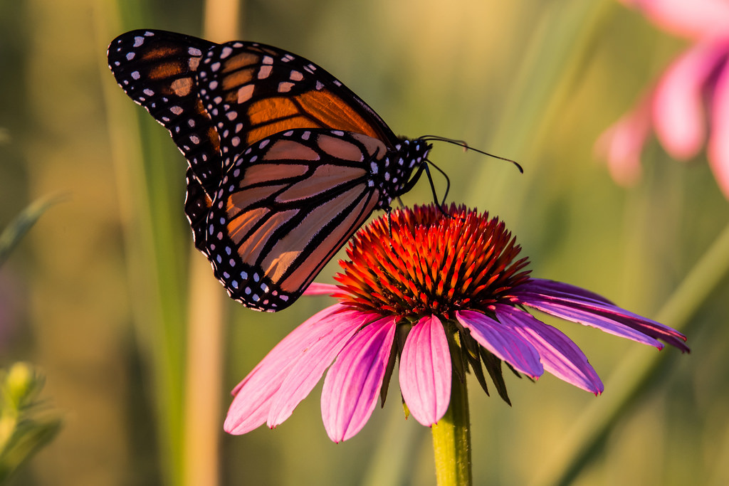 Monarch Butterfly in Wisconsin by U.S. Fish and Wildlife Service - Midwest Region, on Flickr
