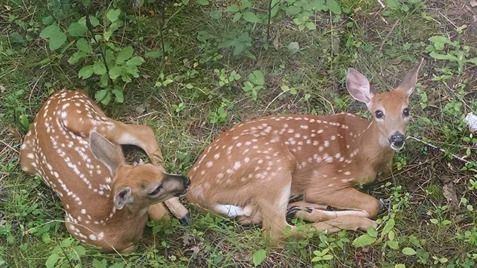 Twin Fawns in Minnesota by U.S. Fish and Wildlife Service - Midwest Region, on Flickr