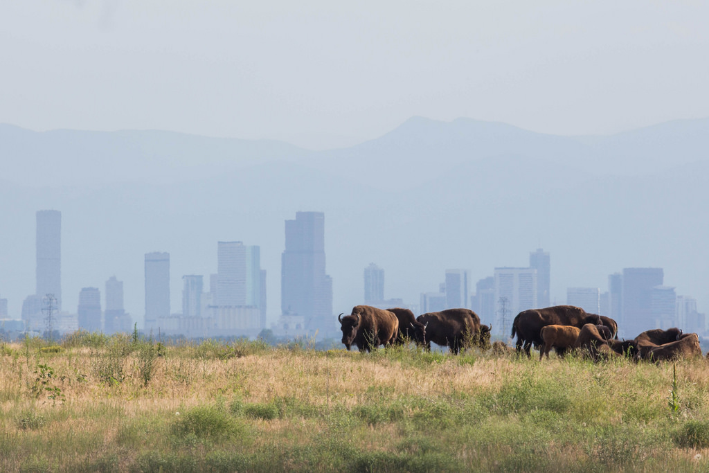 Bison at Rocky Mountain Arsenal National by USFWS Headquarters, on Flickr