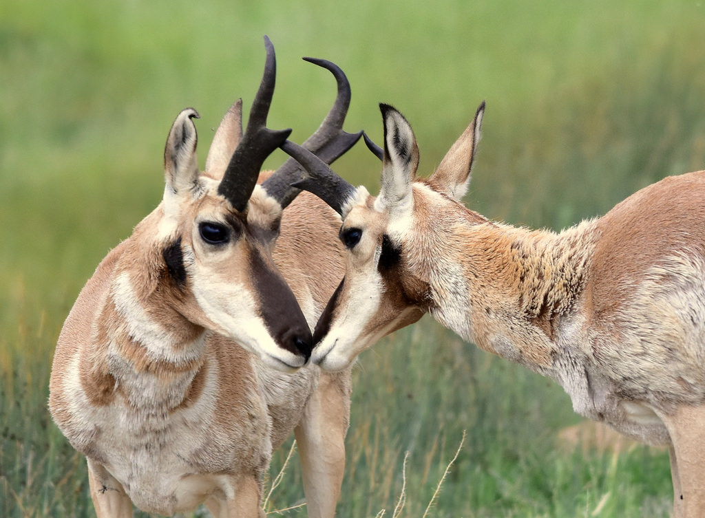 Pronghorns on Arapaho National Wildlife by USFWS Mountain Prairie, on Flickr