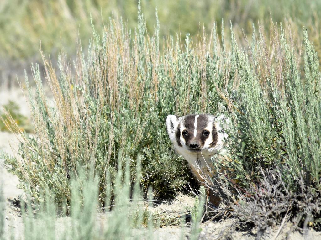 American Badger on Seedskadee National W by USFWS Mountain Prairie, on Flickr