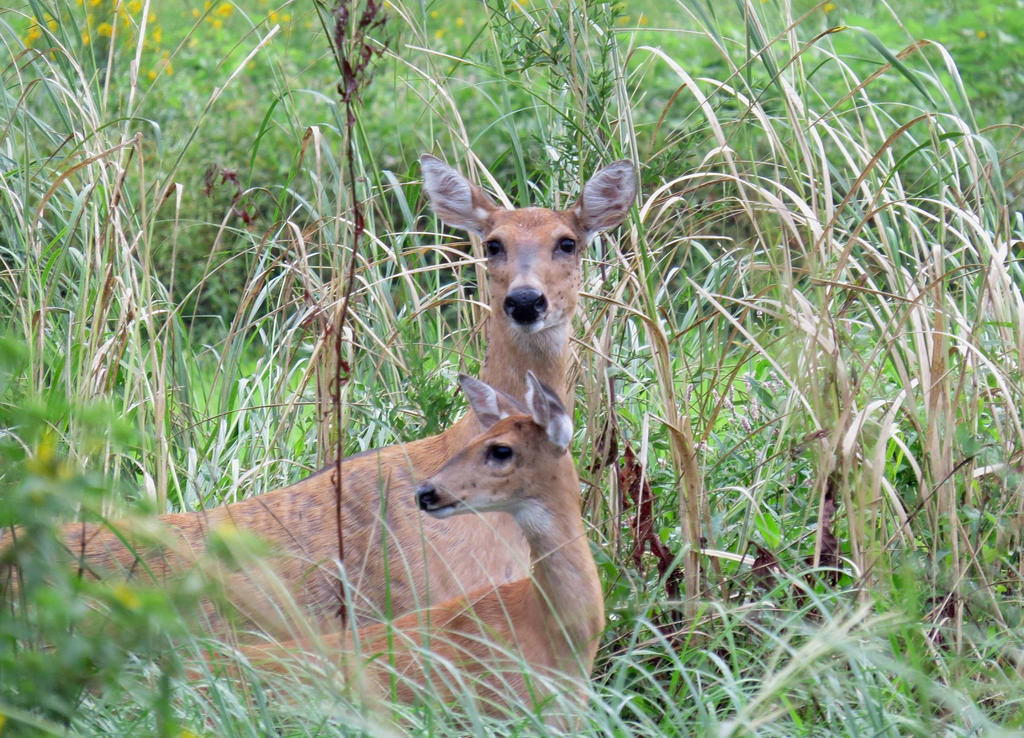 White-tailed Deer at Port Louisa Nationa by U.S. Fish and Wildlife Service - Midwest Region, on Flickr