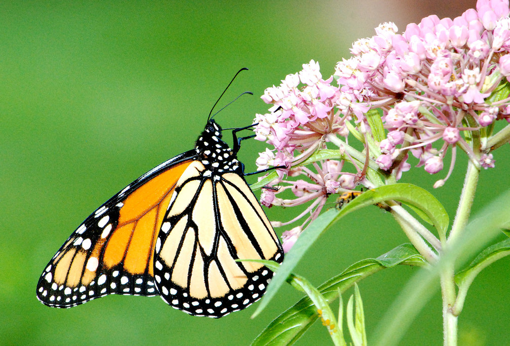 Monarch Butterfly on Swamp Milkweed by U.S. Fish and Wildlife Service - Midwest Region, on Flickr