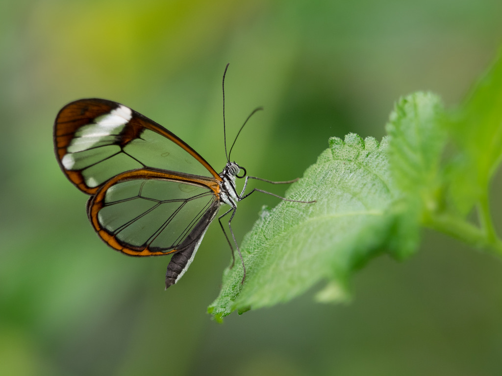 Glasswing Butterfly by wwarby, on Flickr