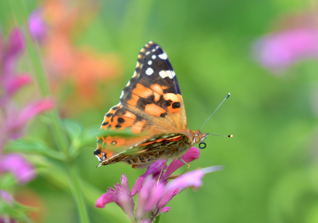 Painted Lady Butterfly by USFWS Mountain Prairie, on Flickr