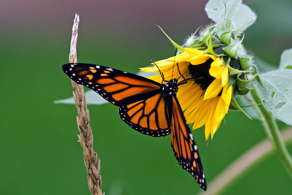 Corn and sunflower (butterfly is optiona by Unhindered by Talent, on Flickr