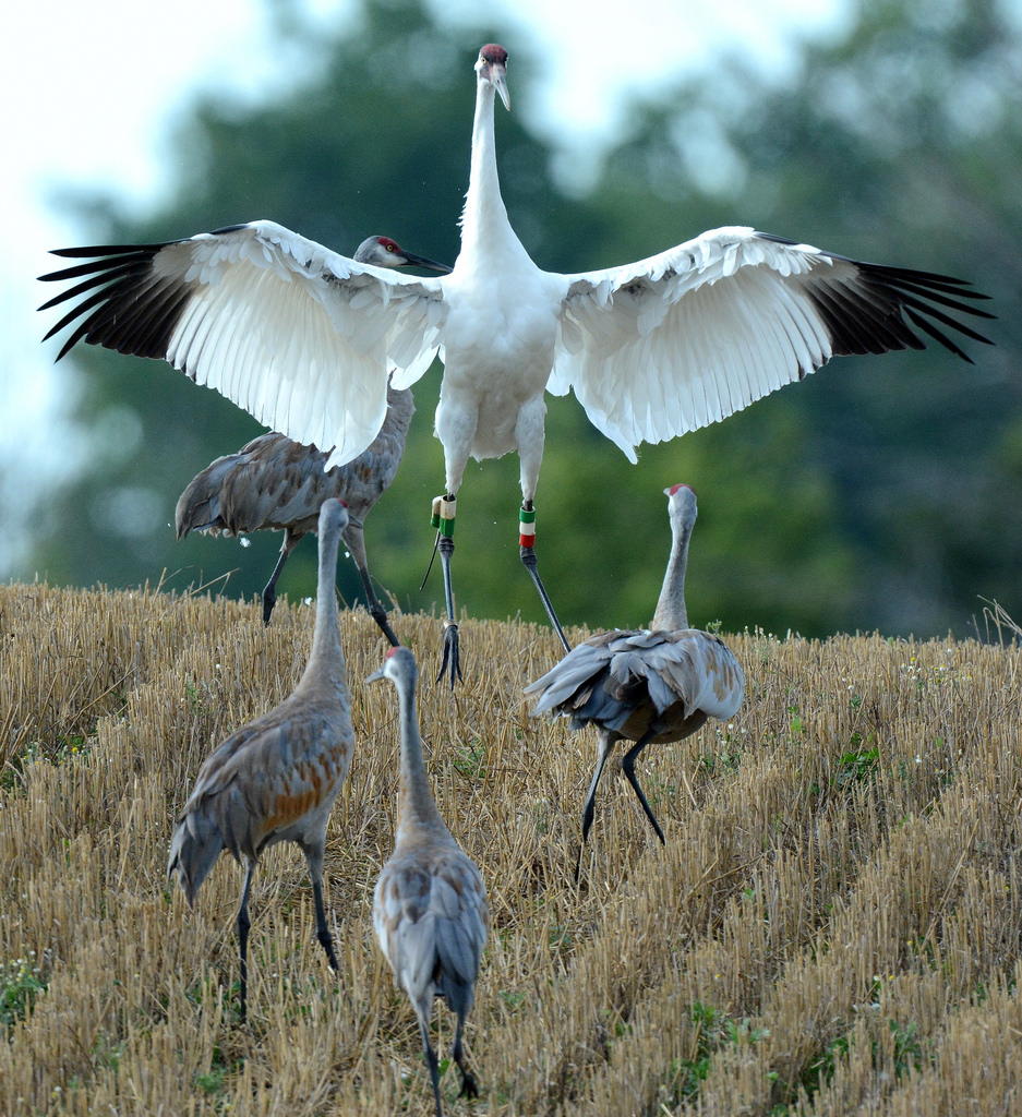 Whooping Crane with Sandhill Cranes in M by U.S. Fish and Wildlife Service - Midwest Region, on Flickr