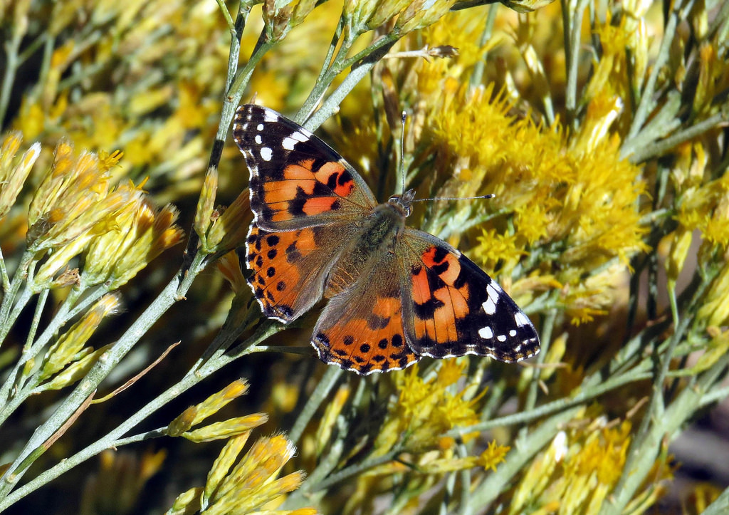 Painted Lady Butterfly in the Indian Wel by mypubliclands, on Flickr