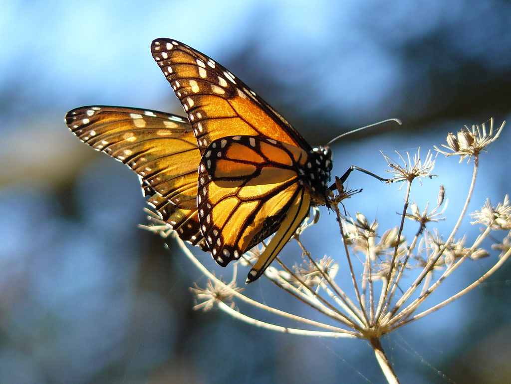 Monarch Butterfly by docentjoyce, on Flickr