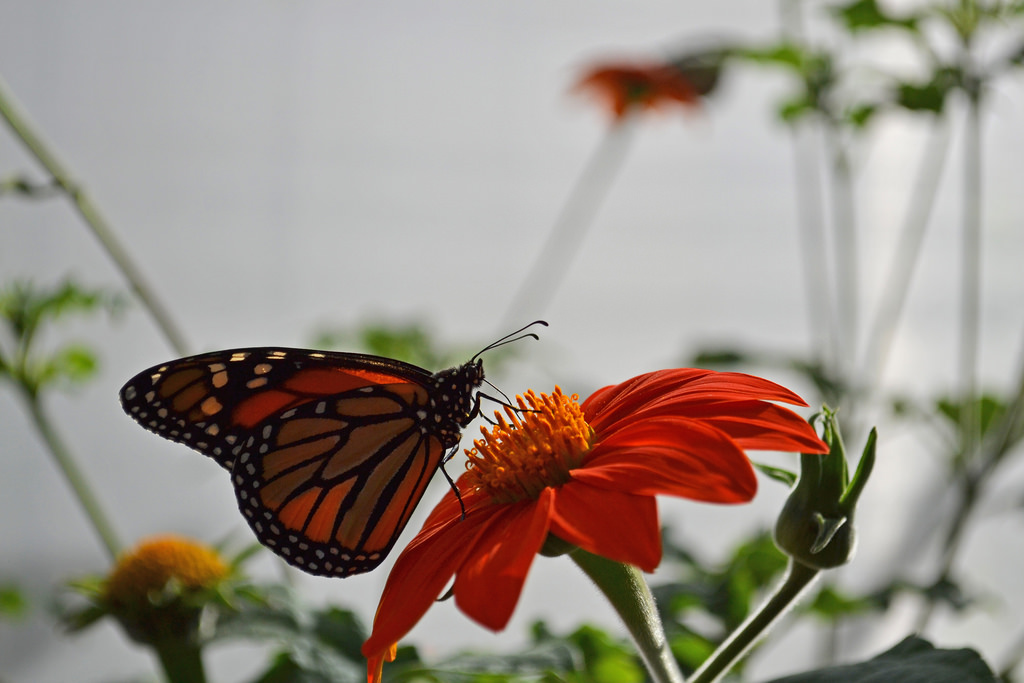 Monarch butterfly by USFWS Pacific Southwest Region, on Flickr