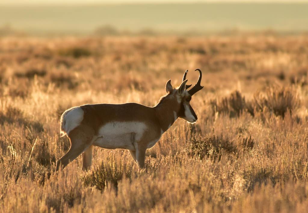 Pronghorn Buck on Seedskadee National Wi by USFWS Mountain Prairie, on Flickr