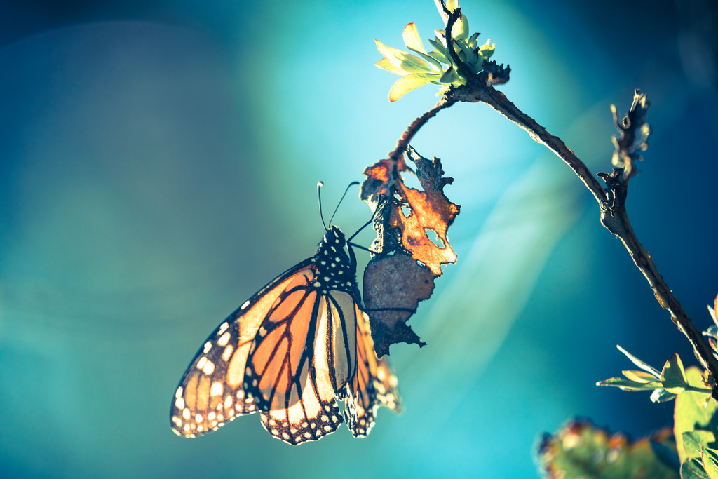 Filtered butterfly by U.S. Fish and Wildlife Service - Midwest Region, on Flickr