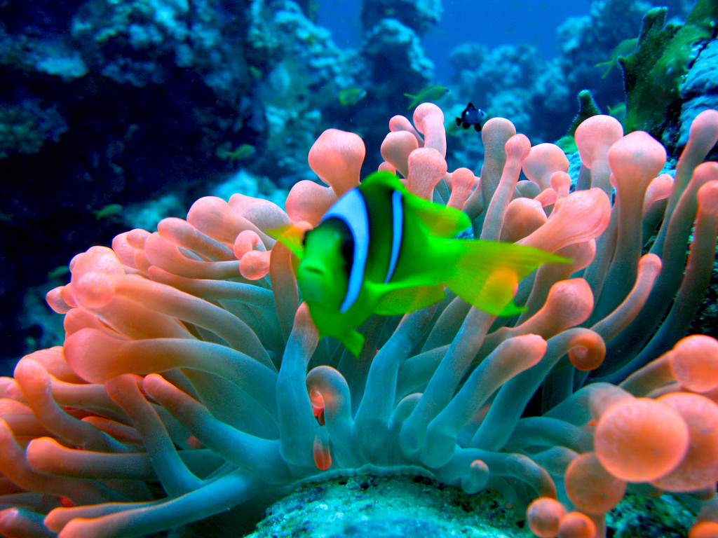 Red Sea Anemonefish in Red Bubble Anemon by prilfish, on Flickr