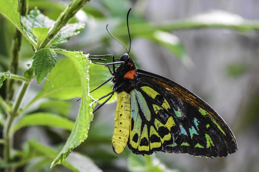 Birdwing Butterfly by C. P. Ewing, on Flickr