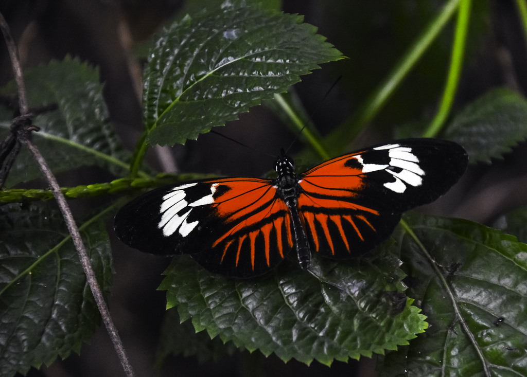 Madeira Butterfly by C. P. Ewing, on Flickr