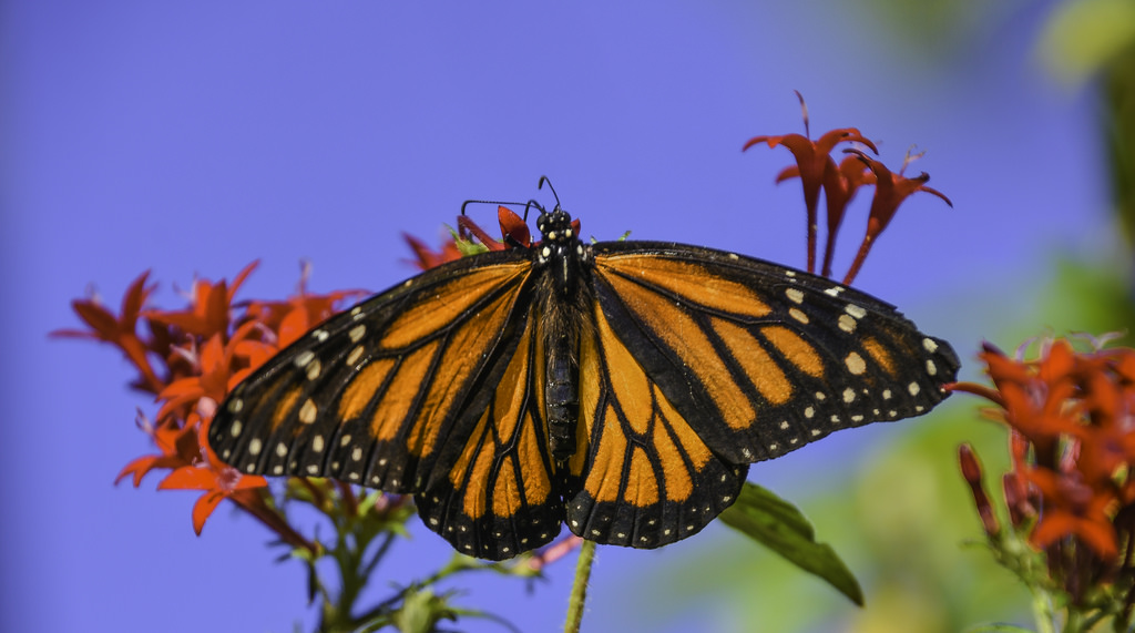 Monarch Butterfly by C. P. Ewing, on Flickr