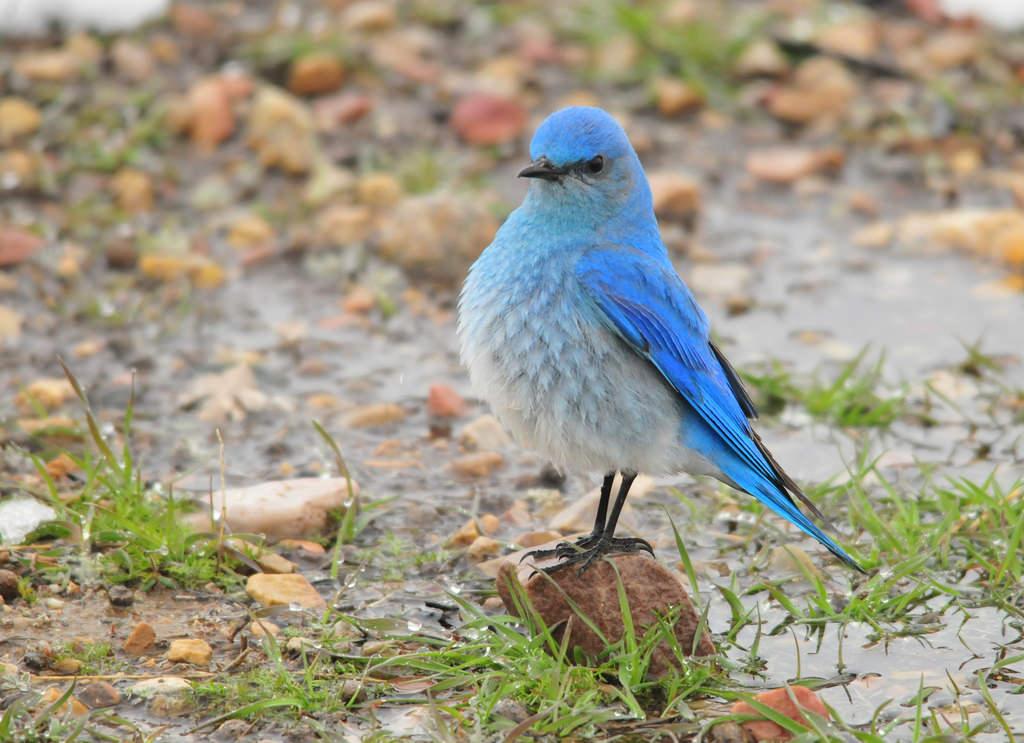 Mountain Bluebird on Seedskadee National by USFWS Mountain Prairie, on Flickr