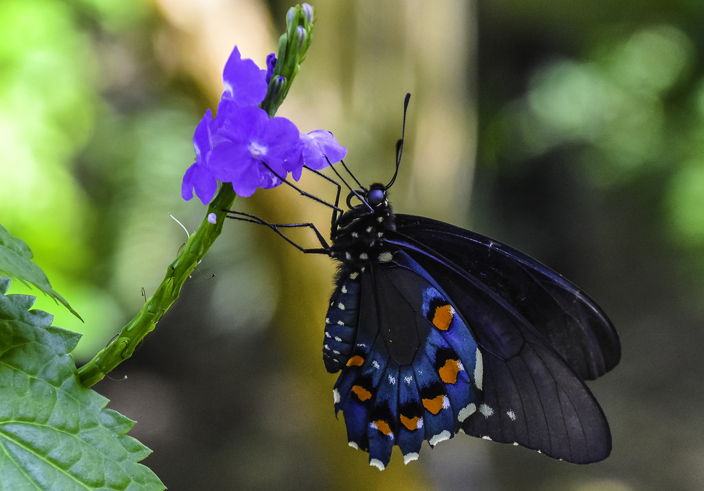 Pipevine Swallowtail Butterfly by C. P. Ewing, on Flickr