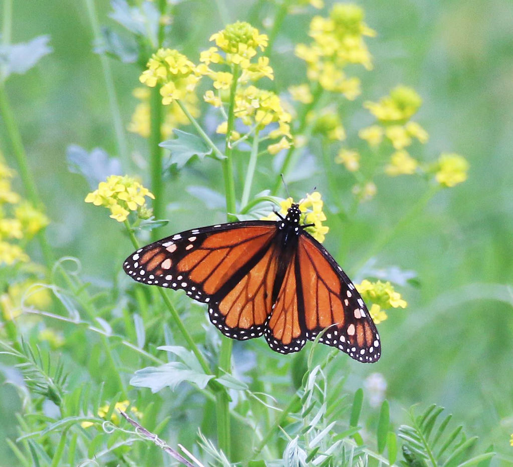 Monarch Butterfly in Missouri by U.S. Fish and Wildlife Service - Midwest Region, on Flickr