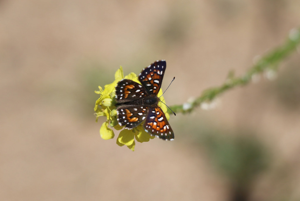 Metal mark butterfly by USFWS Pacific Southwest Region, on Flickr