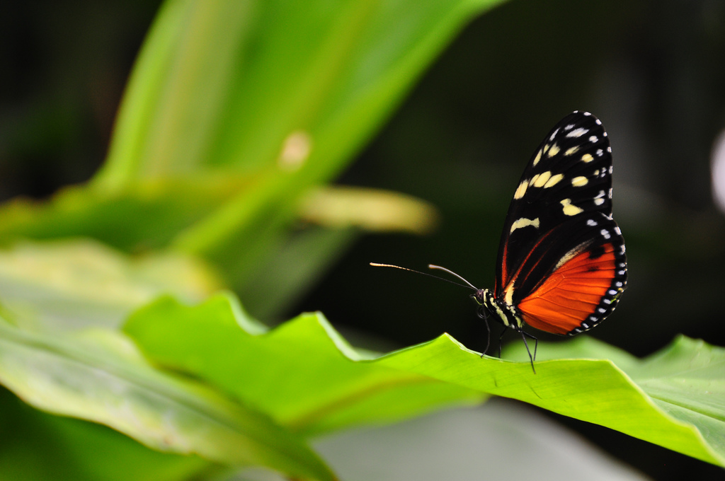 Parisota (heliconius doris butterfly) by Armando Maynez, on Flickr