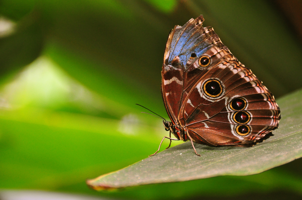 Morpho peleides wings closed (blue morph by Armando Maynez, on Flickr
