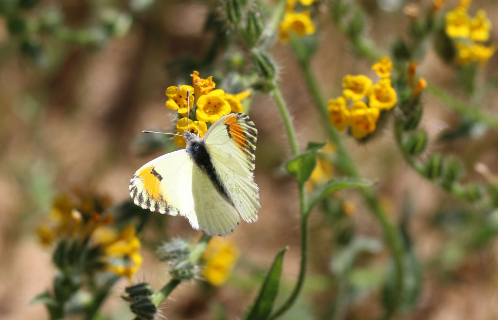 Sara orange tip butterfly by USFWS Pacific Southwest Region, on Flickr
