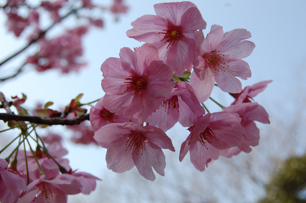 Sakura by Dr.Colossus, on Flickr