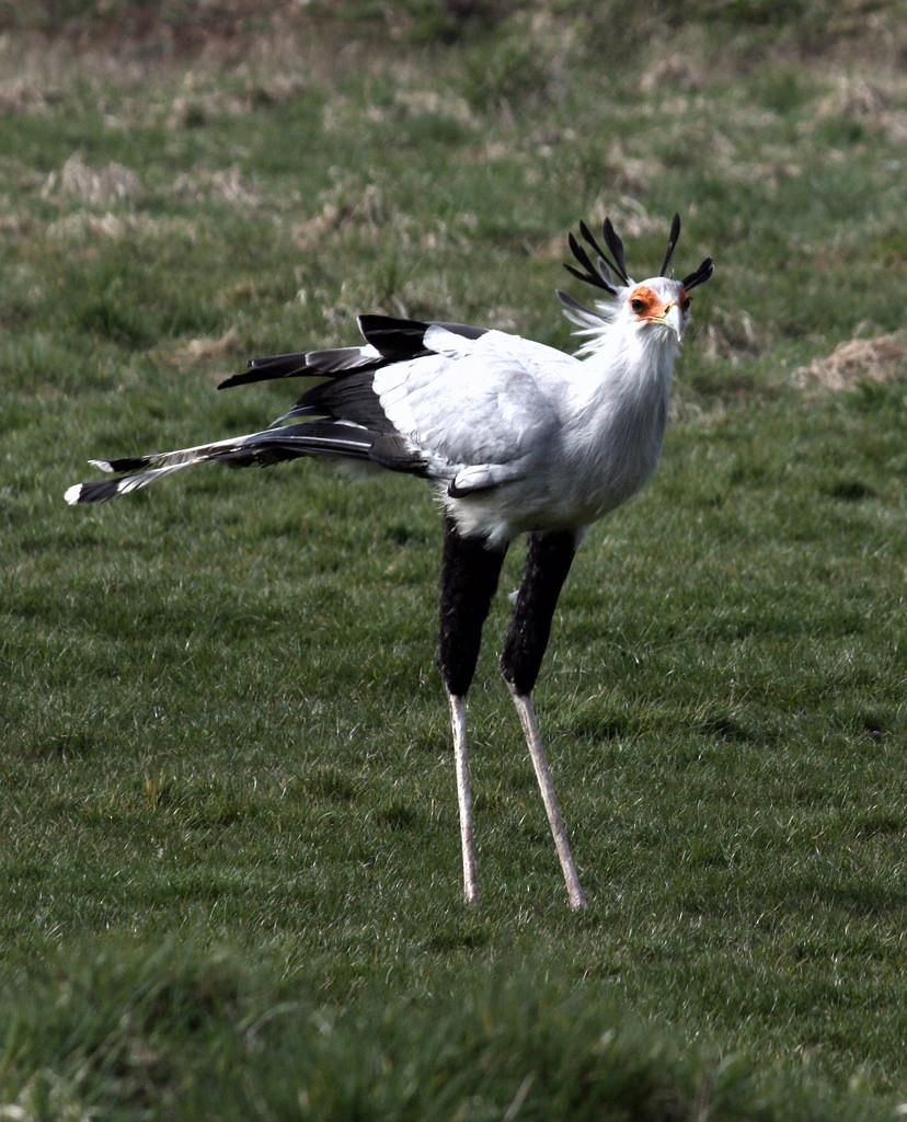 Secretary Bird  - Madaline 2 - Sagittari by flamesworddragon, on Flickr