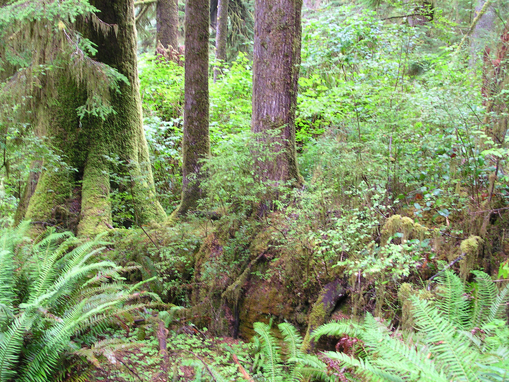 Nurse log, Quinault Rain Forest Nature T by brewbooks, on Flickr